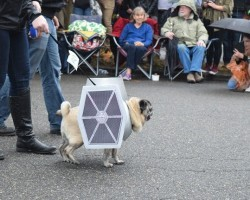 Pugs Gather for 'Star Wars-Themed Pug Parade' and it's AWESOME!