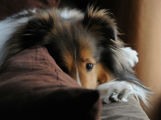 20 Things All Shetland Sheepdog Owners Must Never Forget