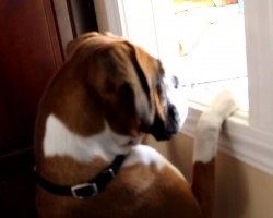 This Boxer Was Completely Heartbroken. Her Reaction Is Priceless.