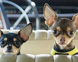 19 Reasons Why Chihuahuas Are The Worst Dogs To Live With