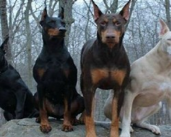 15 Signs That Indicate You're A Crazy Doberman Person… and Damn Proud To Be!