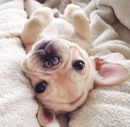 19 Reasons Why French Bulldogs Are The Worst Dogs To Live With