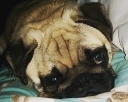 10 Best Pug Dog Names