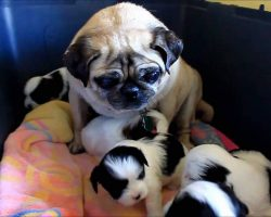 Pug thinks she is a mom again