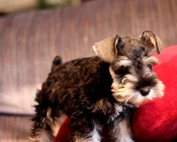 11 Things Only Schnauzer Pup Parents Understand