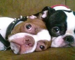 19 Reasons Why Boston Terriers Are The Worst Dogs To Live With
