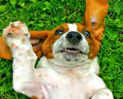 (VIDEO) These 10 Hilarious Basset Hound Videos Will Make Your Day!