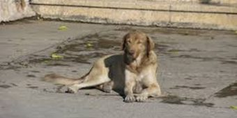 36 Golden Retrievers Abandoned On Streets Get Rescued