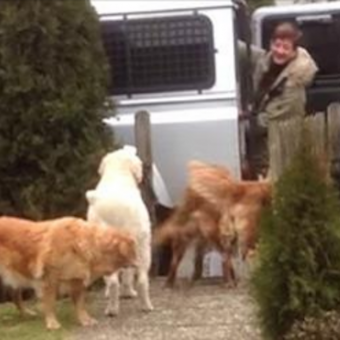 Golden Retrievers Are The Most Amazing Helpers When Mom Comes Home With Groceries