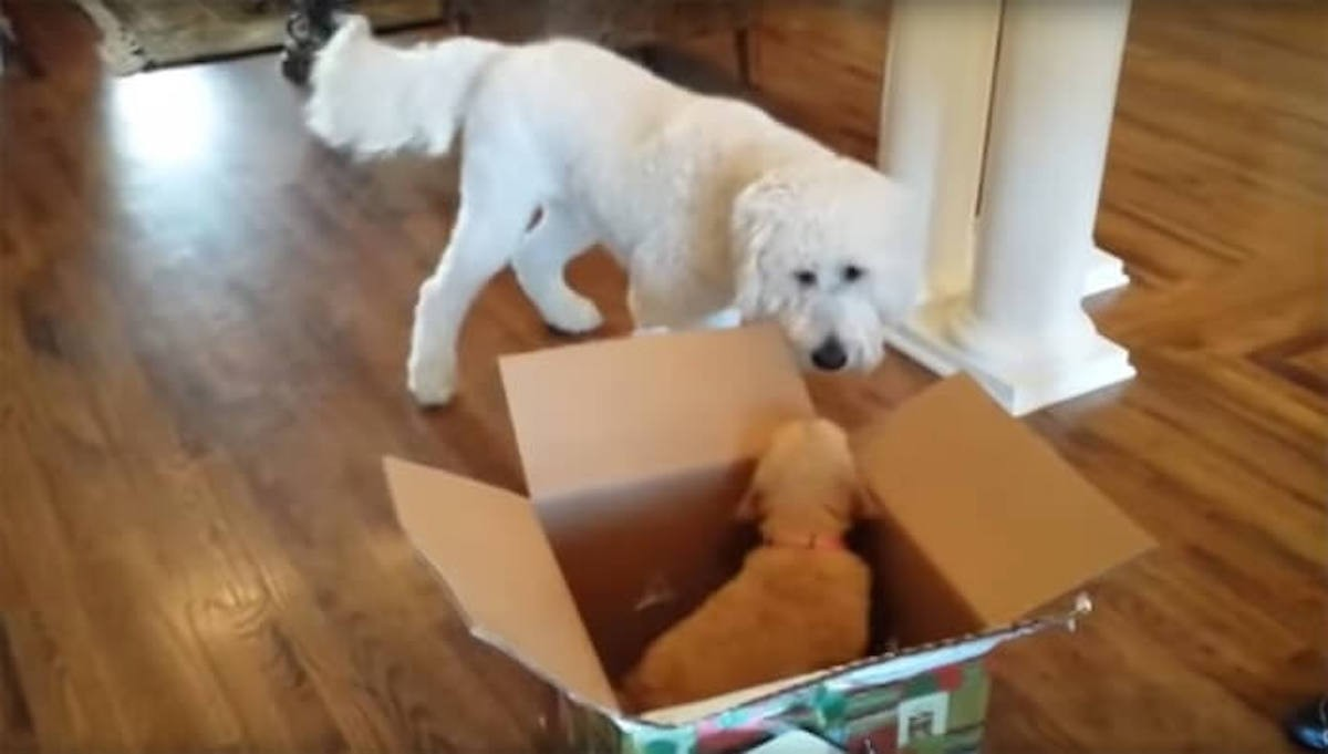 [Video] Dog Gets A Surprise Gift For His Birthday... A Puppy!