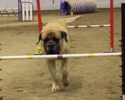 Huge Mastiff Competes In Dog Agility At His Own Pace
