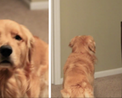 [Video] This Golden Retriever Hasn't Seen His Mom In Months, But Then He Hears The Door Open…