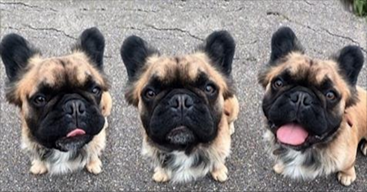 long haired french bulldog these super rare long haired french bulldogs are taking 1689