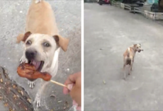 Stray dog begs for food but doesn't eat it, so they follow her with a camera