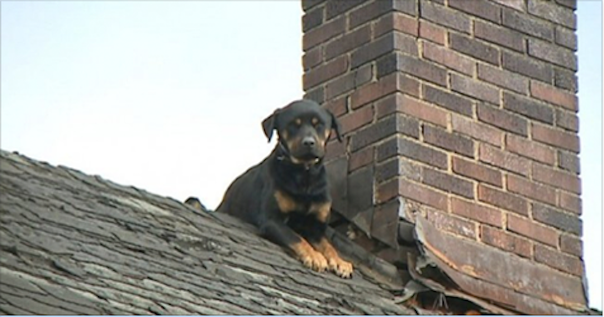Someone Left This Rottweiler On A Rooftop To Die But