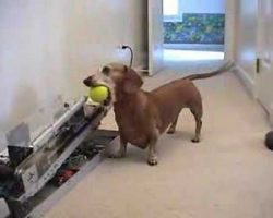 (VIDEO) Smart Dachshund needs no help playing with the ball