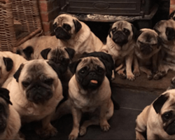 Woman Adopts 30 Pet Pugs, Then Reveals She Spends Over $24,000 A Year On Them