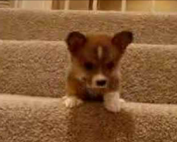 [Video] Puppy Discovers Stairs For The First Time. His Attempt To Conquer Them Is Too Precious