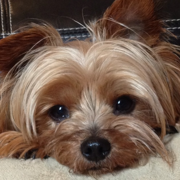 Yorkshire Terrier dog face