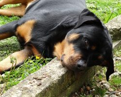 5 Problems Only Rottweiler Owners Will Understand
