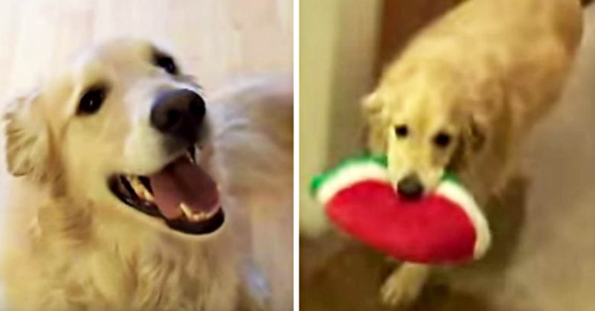Dog Cleans House Golden Retriever