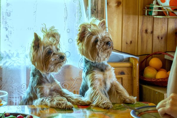 hungry yorkies