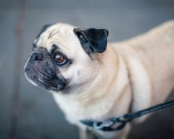 8 Things Only Pug People Understand