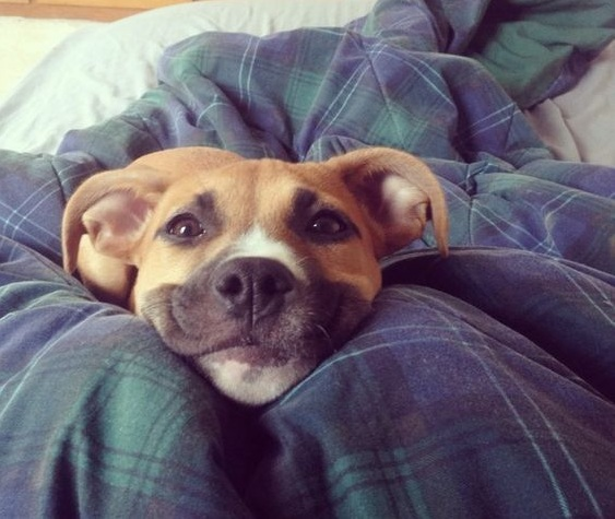 pit bull dog face