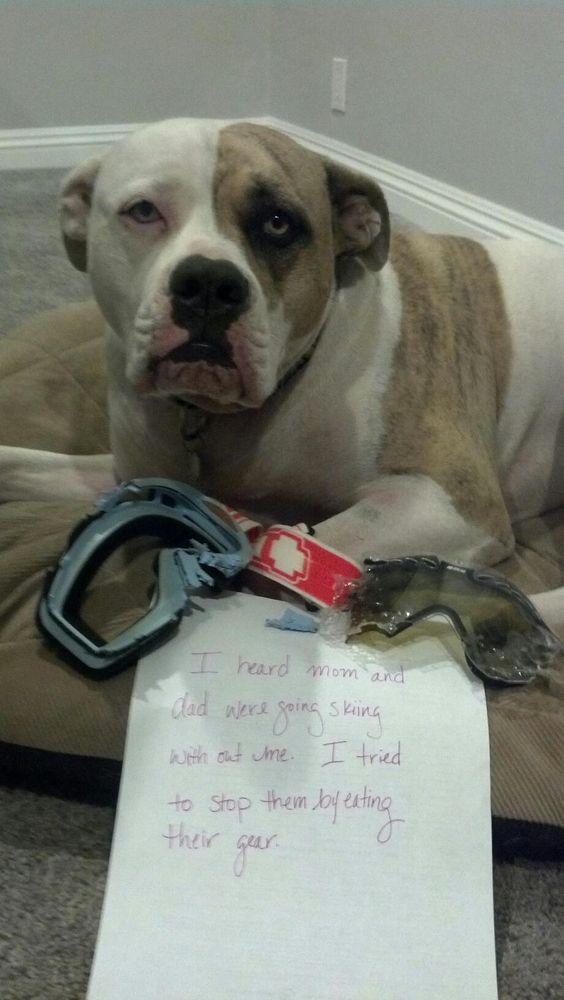 pit bull guilty