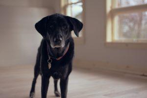 senior-dog-1149760_1280