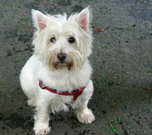 west-highland-white-terrier-76286_1280