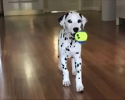 Cute Dalmatian Puppy Adorably Sneaks Up On Mom
