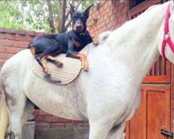 A Doberman Is Best Buddies With A Majestic White Horse