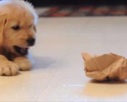 Puppy Takes On A Paper Bag As Her Bemused Older Brother Looks On