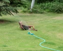 Baby moose caught playing in sprinkler in family's backyard