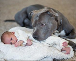 Wife's afraid pit bull will harm baby and wants him done – but pit bull loves baby unconditionally