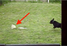 Rottweiler sees a rabbit outside and takes off running, but I'm glad they got this on camera