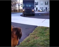 Dog eagerly awaits the UPS driver — now watch when the truck stops at his house