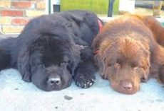 Two Giant Newfoundland Dogs Are Babysitters To 3 Boys