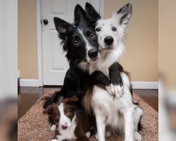Border Collies Are Posing For Pictures Until One Does The Most Adorable Thing