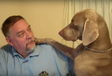 This Is What Happens When You Ignore A Weimaraner – LOL!