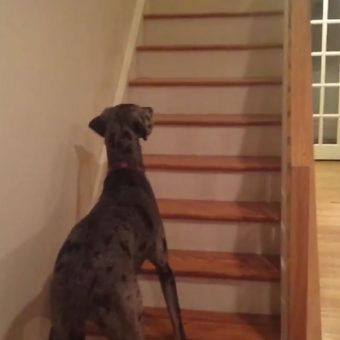 Great Dane Luke Skywalker Sees His First Ghost. His Reaction? Priceless.