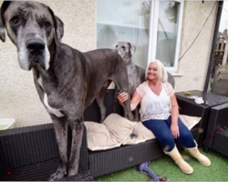 Meet Freddy: he's over 7-feet tall and is the biggest dog in the world