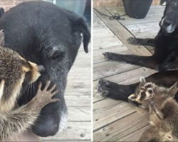Baby raccoon loses mother to car accident – elderly dog adopts him as her own