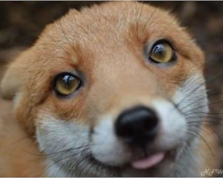 Adorable red fox is too friendly to live in the wild. Instead, she moves in with her human family