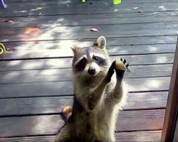 Raccoon knocks on woman's door every day, asks for food for her family