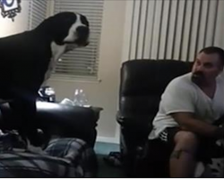 Great Dane hates being ignored, grabs his owner's attention in hilarious fashion