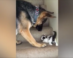 Kitten can't get up the steps, so the German Shepherd does the only logical thing
