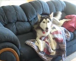 Husky Throws Adorable Tantrum When He Is Interrupted Watching TV