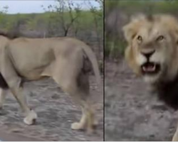 Guy Gets Instant Karma When Teasing A Lion